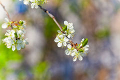 White tree flowers. In spring Stock Image