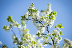 White tree flowers in spring Stock Photos