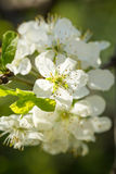 White tree flowers in spring Royalty Free Stock Images