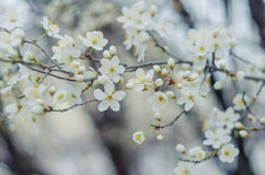 White tree flowers in spring. Spring flowers.  Royalty Free Stock Image