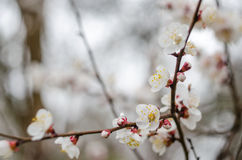White tree flowers in spring. Spring flowers Royalty Free Stock Photo
