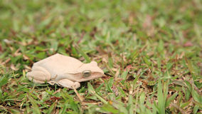 White tree frog on green grass field Stock Image
