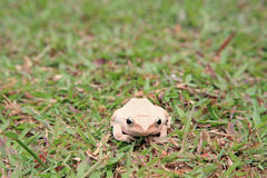 White tree frog sitting on green grass Stock Photography