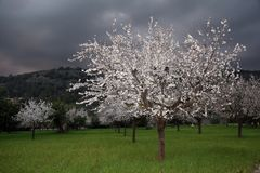 White Tree in Full Bloom Royalty Free Stock Photo
