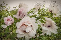White tree-like peony with leaves and plants. Shabby style. Postcard with flowers scratch and vintage stamps. royalty free stock image