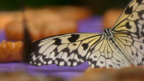 White tree nipph butterfly eating fruits stock footage