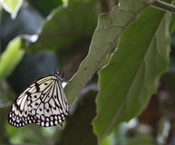 White tree nymph. This butterfly loves it to live on trees Royalty Free Stock Images