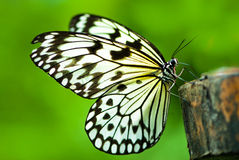 White tree nymph butterfly Royalty Free Stock Photo