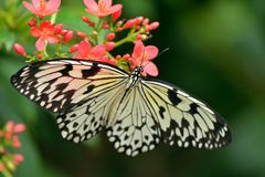 White Tree Nymph butterfly Stock Photos