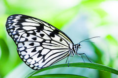 White tree nympth butterfly Stock Image