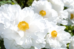 White tree peony garden royalty free stock images