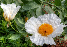 White tree poppy flower. Royalty Free Stock Photography