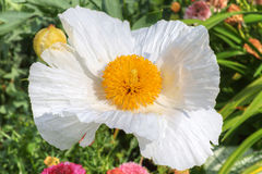 White tree poppy flower. Royalty Free Stock Images