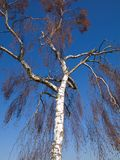 White tree reach into the blue sky above Stock Photo