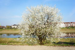White tree Royalty Free Stock Photos