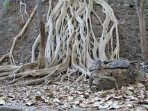 White Tree Roots. Tree roots showing bare over a rock wall Stock Photography