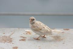 White tree sparrow,albino Royalty Free Stock Photo
