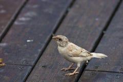 White tree sparrow,albino Stock Photo