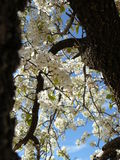 White tree: Squirrel Eye View. Upward angle of tree of white flowers taken through two branches Royalty Free Stock Image