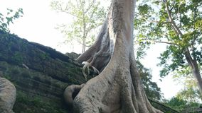 White tree and temple rocks. A medium shot of a tree trunk. Camera slowly tilts up stock video