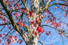 Red autumn tree. White tree under a sunny blue sky with red autumn leaves Stock Images