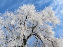 White tree in winter , Lithuania Royalty Free Stock Photos
