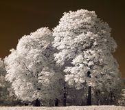 White trees Stock Image