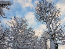White trees and beautiful blue sky Stock Photo