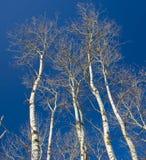 White Trees into Blue Sky Stock Image