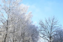 White trees Stock Images