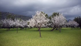 White Trees in Full Bloom Royalty Free Stock Photos