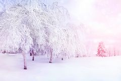 White trees in the snow in the city park. Beautiful winter landscape in pink and blue color. royalty free stock images