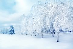 White trees in the snow in the city park. Beautiful winter landscape. White trees in the snow in the city park. Beautiful winter landscape royalty free stock photography