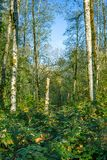 Blue skies through green forest. White trees sticking out of green forest undergrowth below a bright blue sky Stock Images