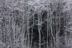 White trees Stock Photography