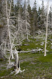 White Trees in Yellowstone. Trees killed by geothermal activity in Yellowstone National Park Stock Photo