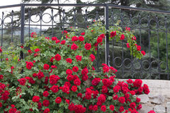 White trellis supporting a red rose vine. Stock Images