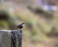 White-throated Dipper on stone Stock Photo