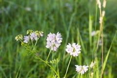 White Trifolium montanum Mountain clover in field Royalty Free Stock Photos