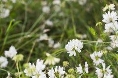 White Trifolium montanum Mountain clover in field Stock Photography