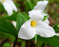 White Trillium Stock Photography