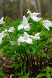 White Trillium Stock Photos