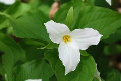 White Trillium blooming. In woodlands. Ontario provincial flower Stock Photo