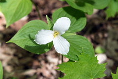 White Trillium Royalty Free Stock Photos