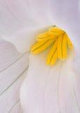 White Trillium Closeup Royalty Free Stock Images