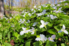 White Trillium covers Forest Floor Royalty Free Stock Photos