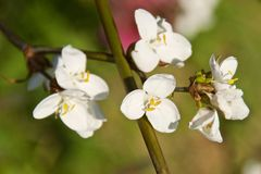 White trillium erect flowers blooming in Chile. South America royalty free stock photography