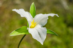 White Trillium flower Royalty Free Stock Image