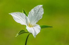 White Trillium flower. Detail of a White Trillium flower with morning dew in the Appalachian Mountains Royalty Free Stock Photo