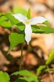 White Trillium Stock Image